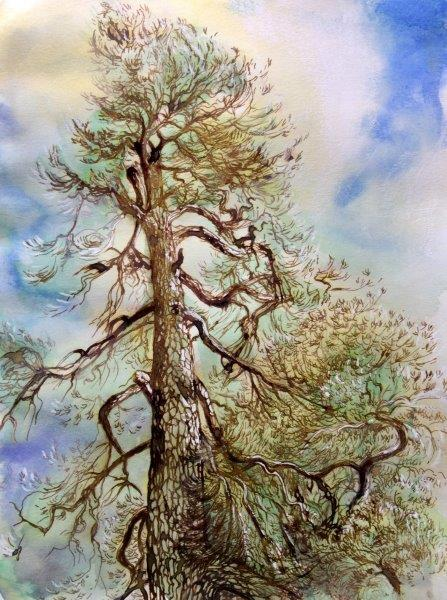 Scots pine, spring